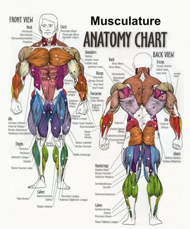 Các nhóm cơ trên cơ thể